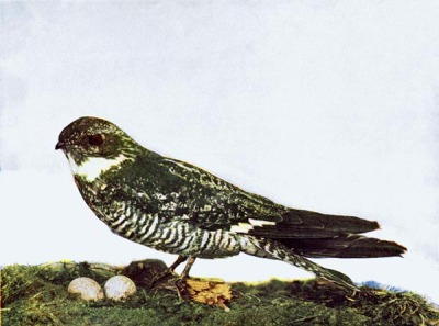 Night Hawk for Birds Illustrated by Color Photography, 1897