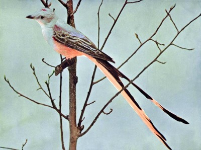 Scissor-tailed Flycatcher Birds Illustrated by Color Photography, 1897