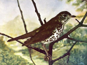 Wood Thrush for Birds Illustrated by Color Photography, 1897