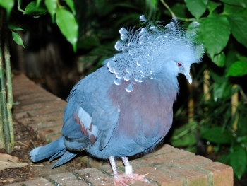 Victoria Crowned Pigeon by Dan at National Aviary