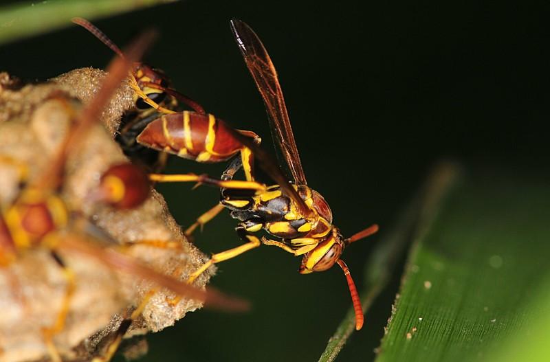 Hornet vs yellow jacket