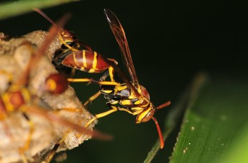 Yellow Jacket Wasp side ©©