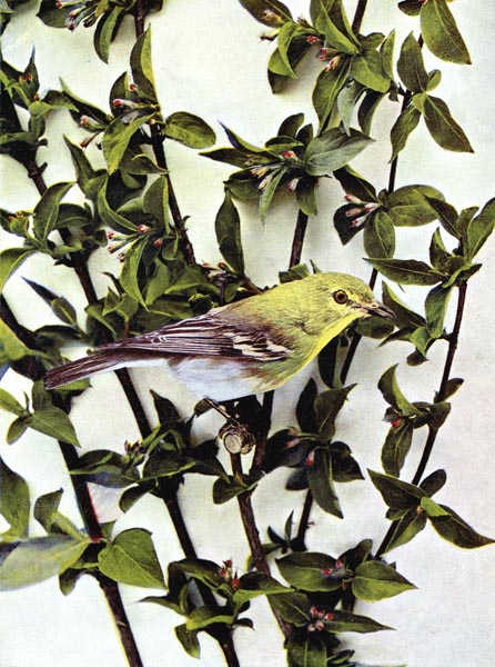 Yellow-throated Vireo for Birds Illustrated by Color Photography, 1897