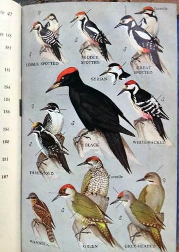 Black Woodpecker (Dryocopus martius) by Ian 1