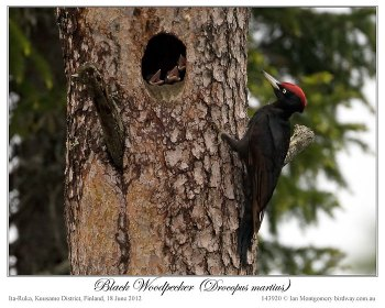Black Woodpecker (Dryocopus martius) by Ian 2
