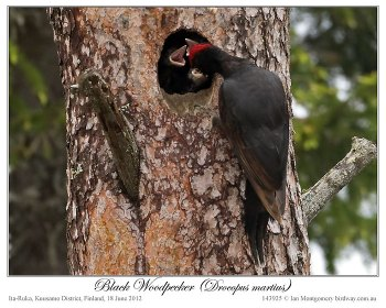 Black Woodpecker (Dryocopus martius) by Ian 3