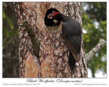 Black Woodpecker (Dryocopus martius) by Ian 3