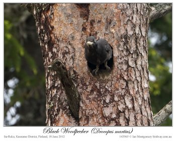 Black Woodpecker (Dryocopus martius) by Ian 4