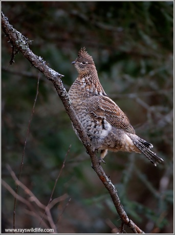 Ruffed Grouse (Bonasa umbellus) by Raymond Barlow