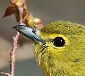 Yellow-throated Vireo (Vireo flavifrons) ©WikiC up close