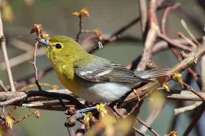 Yellow-throated Vireo (Vireo flavifrons) ©WikiC