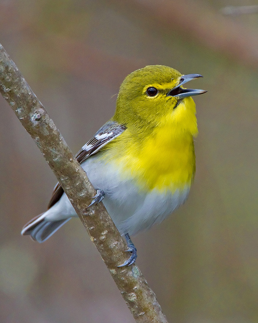 Yellow throated vireo fall - photo#49