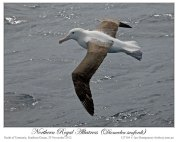 Northern Royal Albatross (Diomedea sanfordi) by Ian2