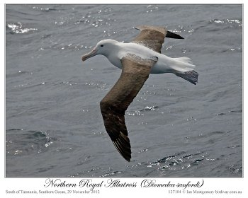 Northern Royal Albatross (Diomedea sanfordi) by Ian2