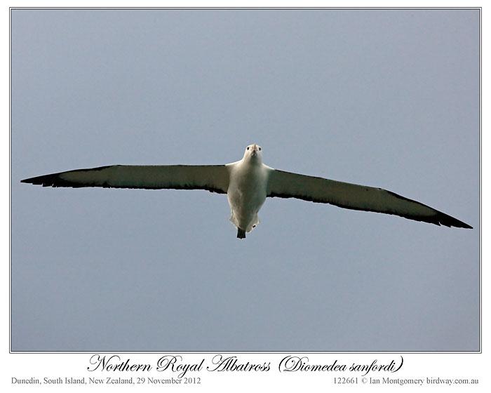 Northern Royal Albatross (Diomedea sanfordi) by Ian 6