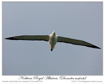 Northern Royal Albatross (Diomedea sanfordi) by Ian 6