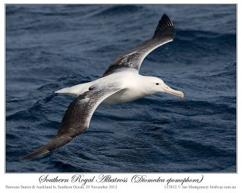 Southern Royal Albatross (Diomedea epomophora) by Ian 1