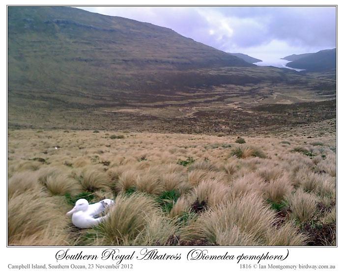 Southern Royal Albatross (Diomedea epomophora) by Ian 3
