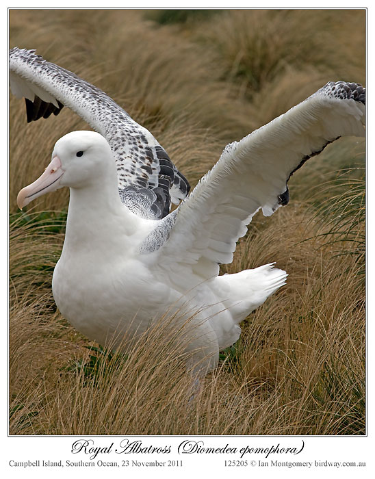 Southern Royal Albatross (Diomedea epomophora) by Ian 4