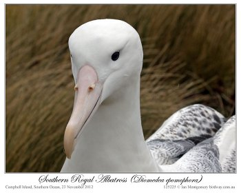 Southern Royal Albatross (Diomedea epomophora) by Ian 5