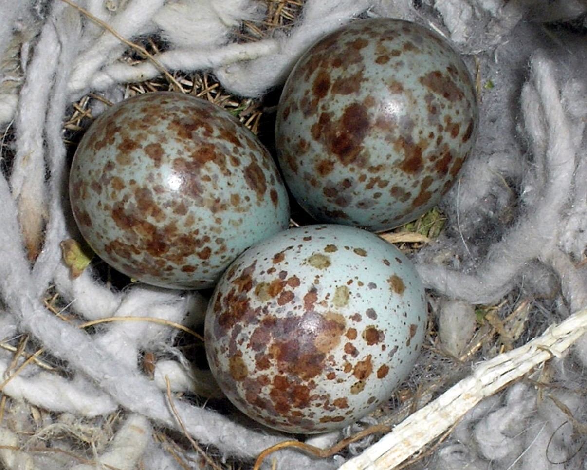 Northern Mockingbird Mimus Polyglottos Eggs CWikiC