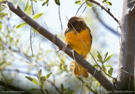 Baltimore Oriole (Icterus galbula) Female by Nature's Hues