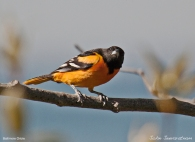 Baltimore Oriole (Icterus galbula) Male by Nature's Hues
