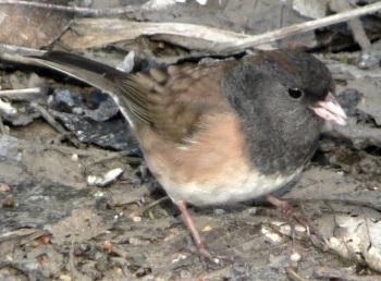 Dark-eyed Junco (Junco hyemalis oreganus) (one of the Oregon Juncos) ©WikiC