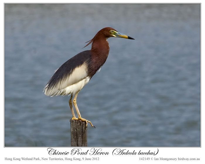 Chinese Pond Heron (Ardeola bacchus) by Ian 2
