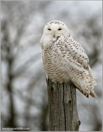 Snowy Owl (Bubo scandiacus) by Raymond Barlow