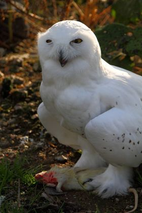 Snowy Owl (Bubo scandiacus) Leggings ©WikiC