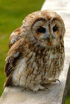 Tawny Owl (Strix aluco) ©WikiC