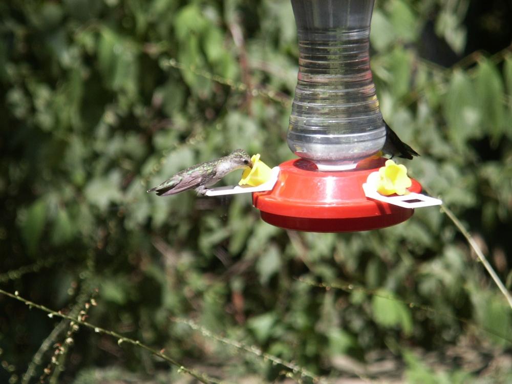 The Ruby-Throated Humming Bird - Vol. 2, No. 3 (5/5)