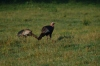 Wild Turkey (Meleagris gallopavo) Cumberland Gap by Dan