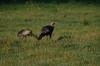 Wild Turkey (Meleagris gallopavo) Cumberland Gap by Dan