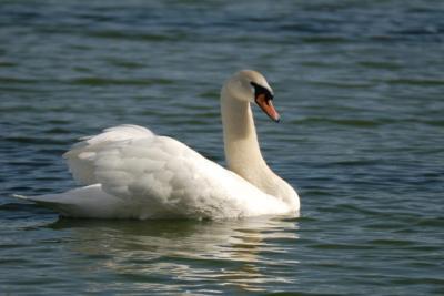Mute Swan (Cygnus olor) by Dan