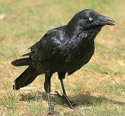 Little Raven (Corvus mellori) ©WikiC