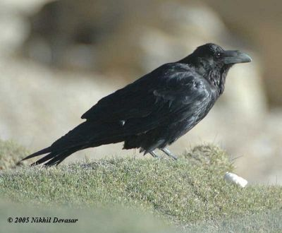 Northern Raven (Corvus corax) by Nikhil Devasar