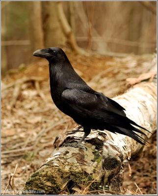 Northern Raven (Corvus corax) by Ray