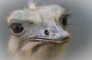 Common Ostrich (Struthio camelus) Closeup by Thomas Stromberg©©