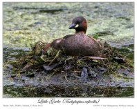 Little Grebe (Tachybaptus ruficollis) by Ian 1