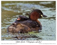 Little Grebe (Tachybaptus ruficollis) by Ian 4 with chick