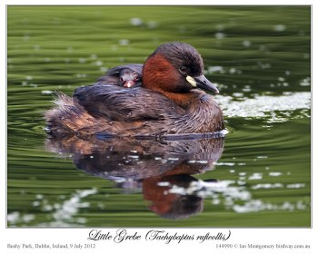 Little Grebe (Tachybaptus ruficollis) by Ian 5 with chick