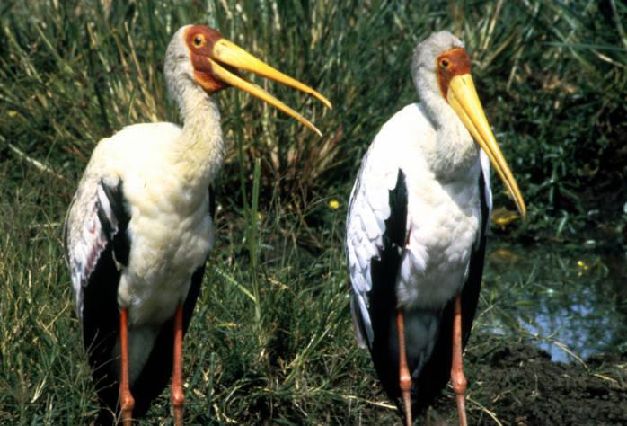 Yellow-billed Stork (Mycteria ibis) ©USFWS