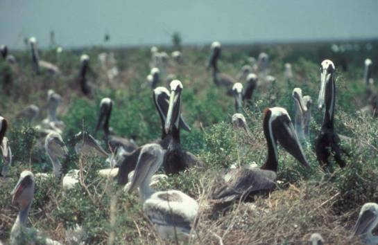 Brown Pelican (Pelecanus occidentalis) rookery ©USFWS