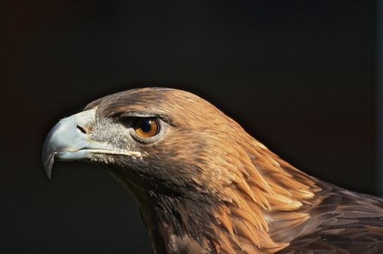Golden Eagle (Aquila chrysaetos) ©©EdGaillard