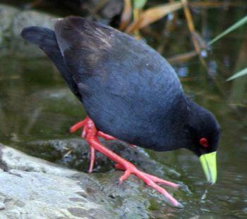 Black Crake (Amaurornis flavirostra) ©WikiC