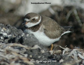 Semipalmated Plover (Charadrius semipalmatus) by S Slayton
