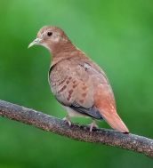 Blue Ground Dove (Claravis pretiosa) ©WikiC