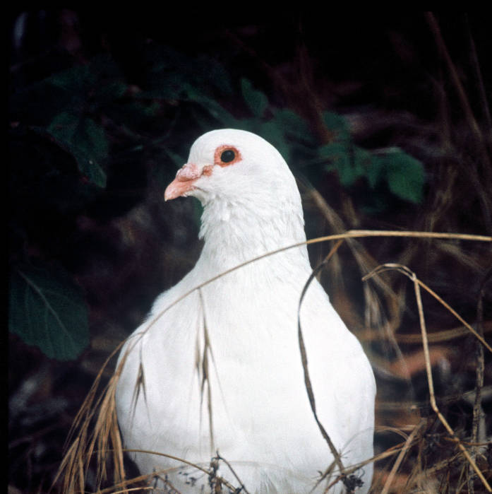 Common Pigeon (Columba livia) ©USFWS